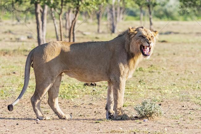 Africa- Namibia- Etosha National Park- male lion- Panthera leo