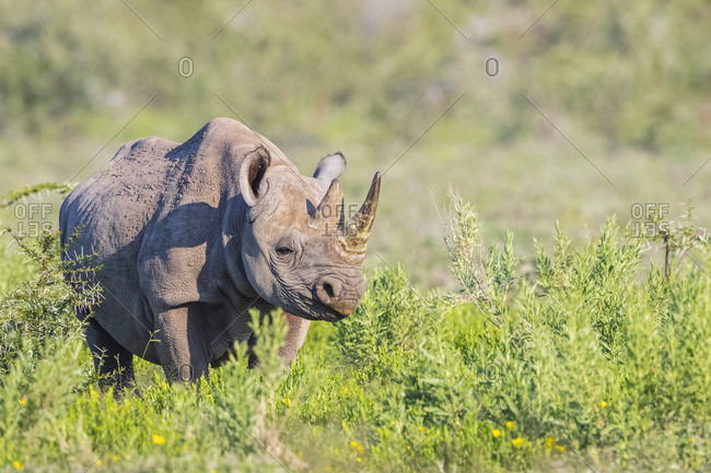 Namibia- Etosha National Park- African black rhino