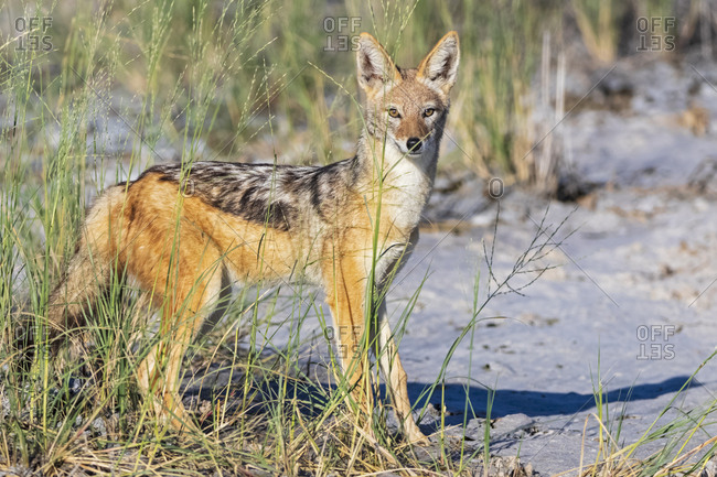 Namibia- Etosha National Park- Black-backed Jackal
