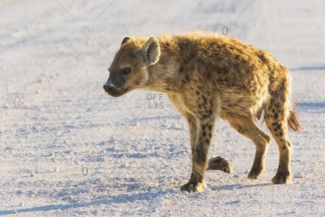 Namibia- Etosha National Park- Spotted hyena