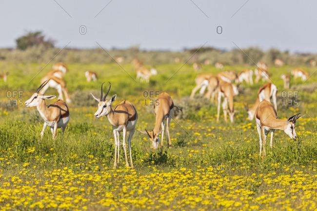 Africa- Namibia- Etosha National Park- Springboks- Antidorcas marsupialis