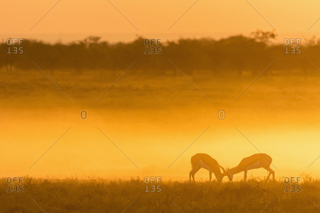 Africa- Namibia- Etosha National Park- Springboks- Antidorcas marsupialis- fighting at sunset