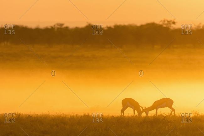 Africa- Namibia- Etosha National Park- Springboks- Antidorcas marsupialis- fighting at sunset