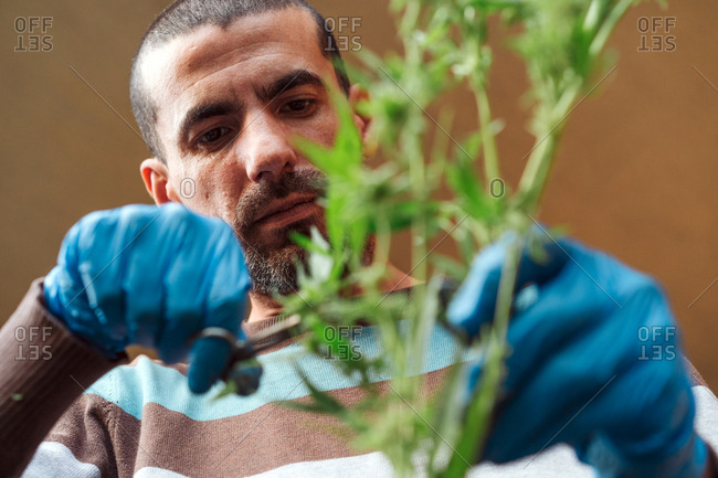 Portrait Of A Man Harvesting Organic Medical Marijuana.