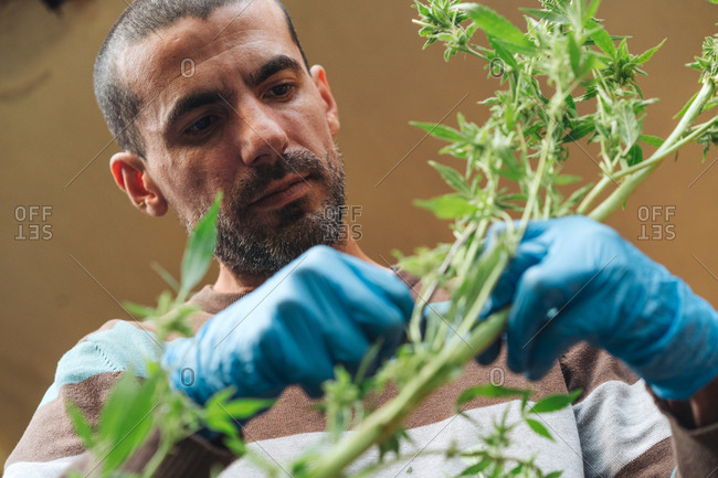 Man Harvests Organic Medical Marijuana.
