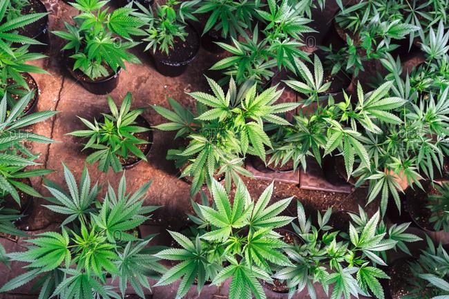 Little Plants Of Cannabis Inside The Pots.