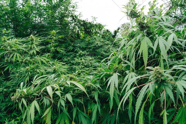 Organic Medical Marijuana Plantation.