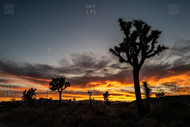 Sunset over Joshua trees in desert setting