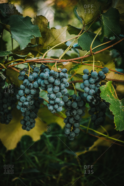 Black grapes growing on a vine