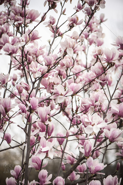 Beautiful pink blossoms on a magnolia tree