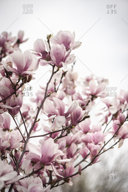 Beautiful branches with pink blossoms on a magnolia tree