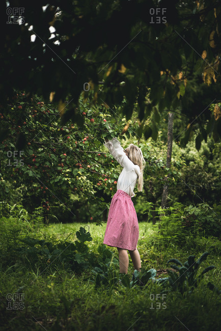 Woman picking ripe nectarines in a garden