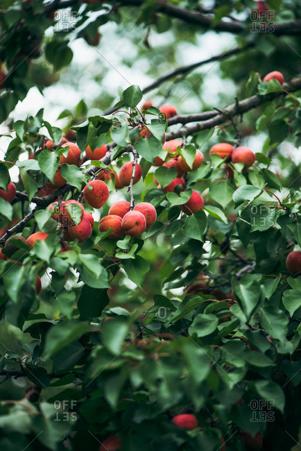 Nectarines growing on a tree