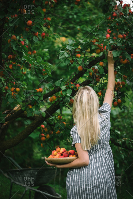 Rear view of woman picking ripe nectarines in a garden