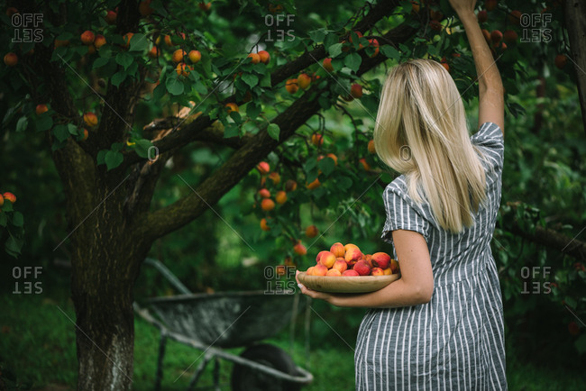 Back view of woman picking ripe nectarines in a garden