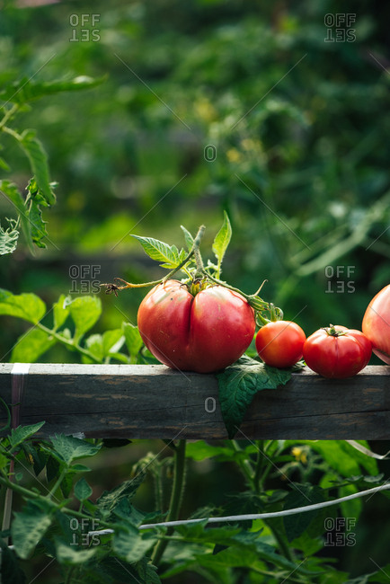 Red juicy tomato resting on wooden board