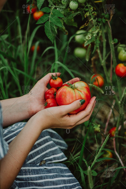 Woman holding fresh picked juicy tomatoes in a garden