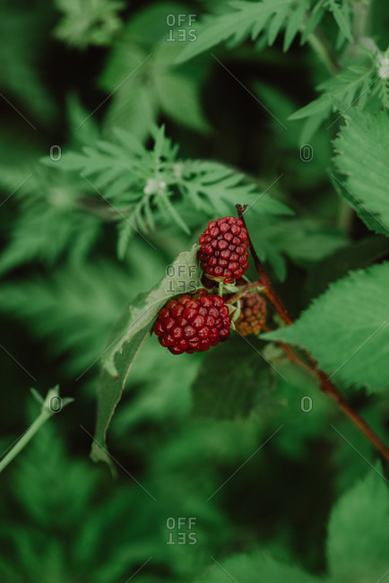 Close up of red raspberries growing on a bush