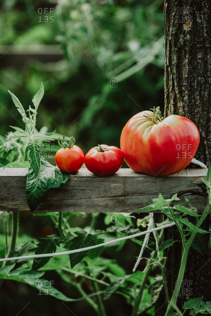 Red tomatoes resting on wooden board in a garden