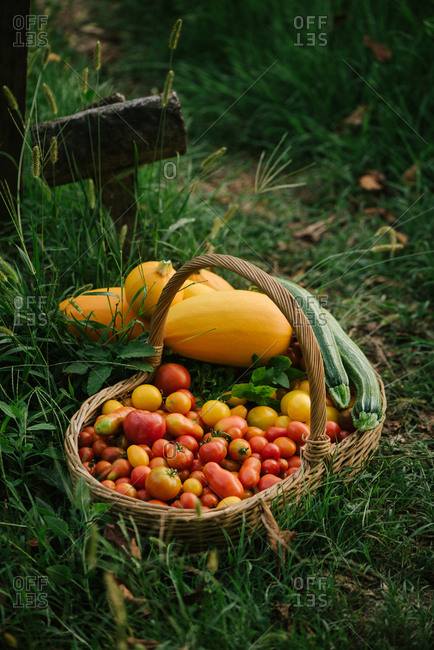 Fresh picked tomatoes and squash in a basket