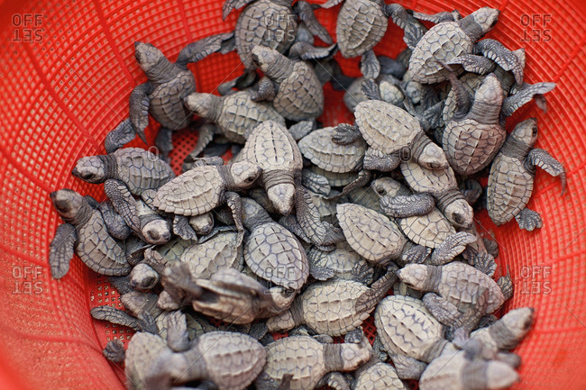Baby turtles in red strainer
