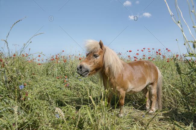 Pony in sunny rural field with poppy wildflowers