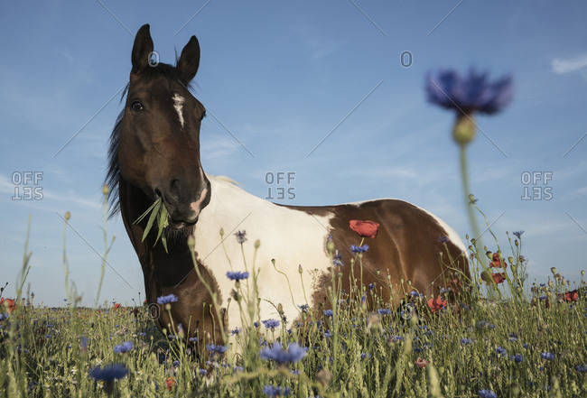 Portrait horse grazing in sunny rural field with wildflowers