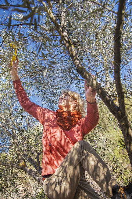 Woman picking olives from tree
