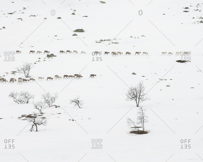 Reindeer in snowy field in Dalarna,  Sweden