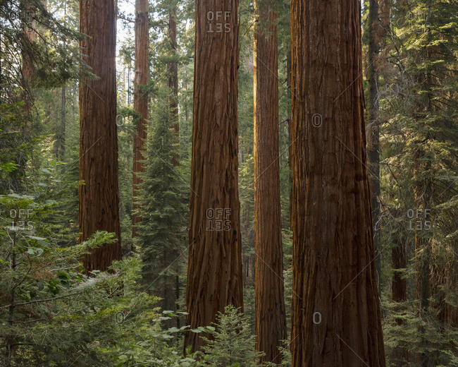 Forest in Sequoia National Park in California