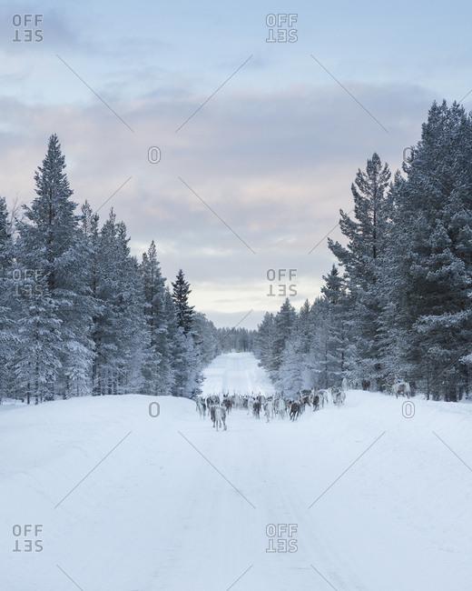 Reindeer on snow between trees
