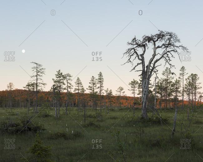 Pine trees in field in Koppgangen Nature Reserve,  Sweden