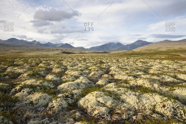 Lichen in Rondane National Park,  Norway