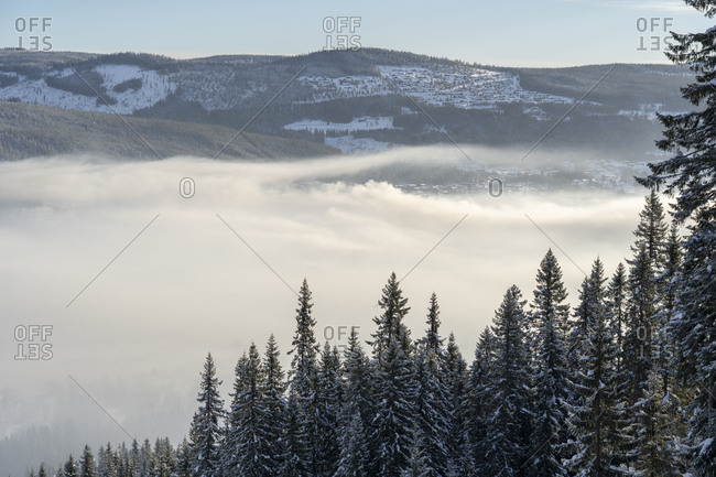 Snow covered pine trees by fog in Hedmark,  Norway