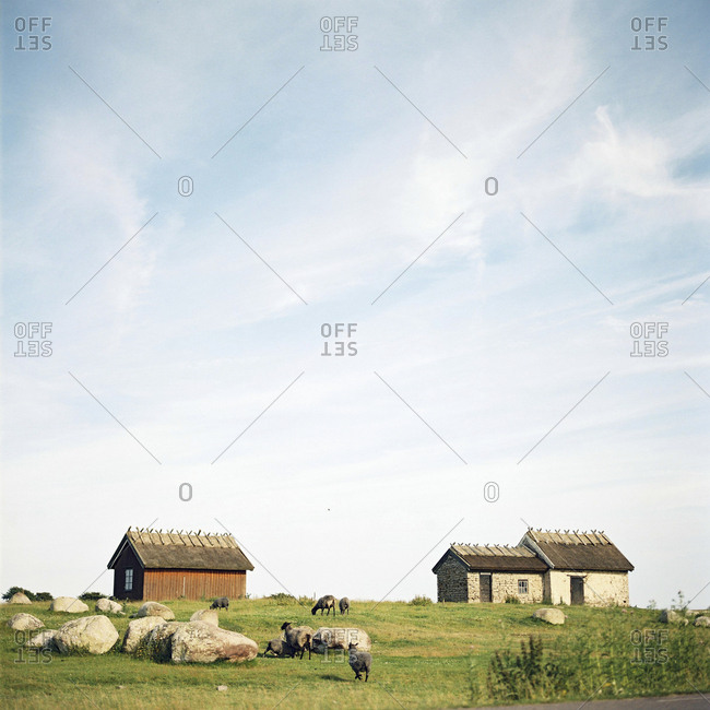 Sheep in pasture on Oland,  Sweden