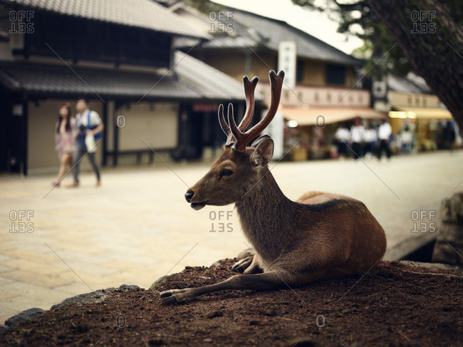Sika deer lying by street in Nara,  Japan