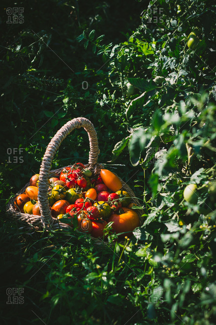 Basket of freshly picked tomatoes from the garden in the summer morning