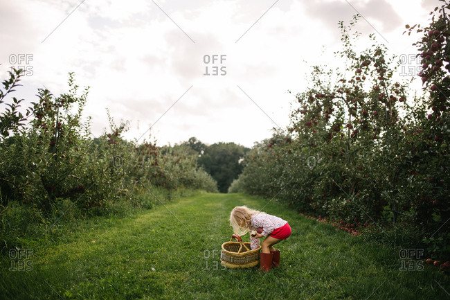 Blonde girl reaching into basket while picking apples in an orchard