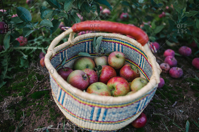Close up of a woven basket filled with fresh picked apples in an orchard