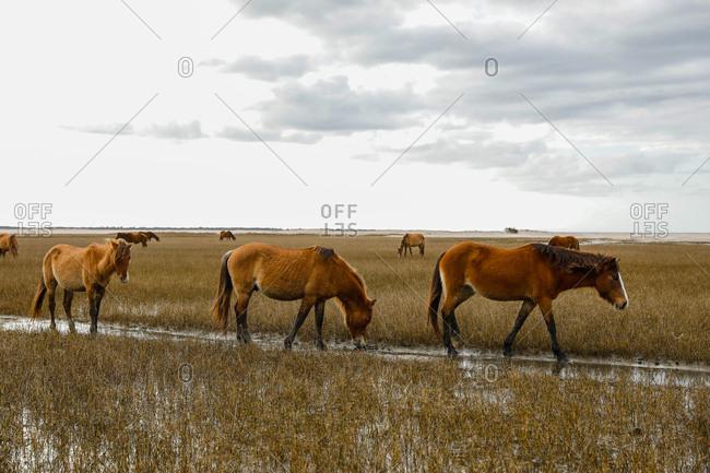 Wild Horses along the Outer Banks of North Carolina.