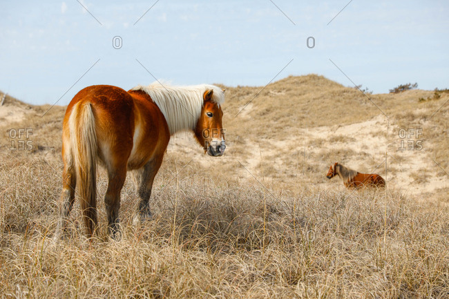 Wild Horses along the Outer Banks of North Carolina.