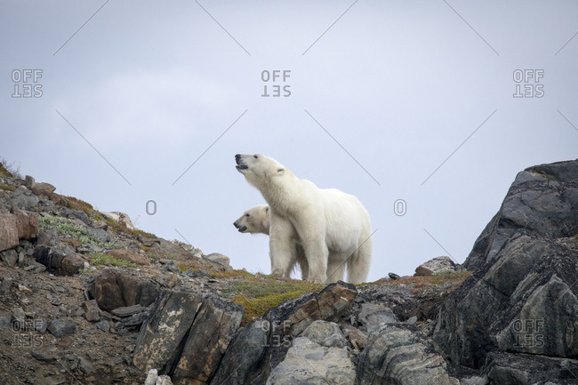 Polar bear explores rocky shoreline, Torngats Mountains National Park