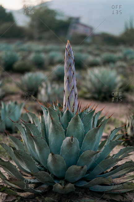 Bunch of growing green agave with tall flowers in daylight