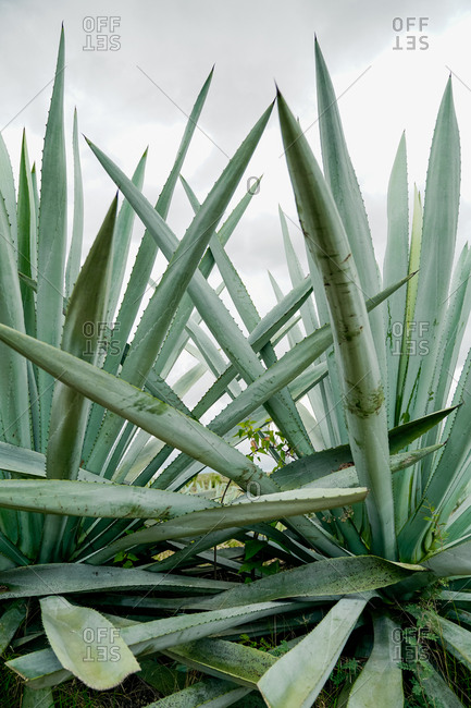Growing tall spiky green agave leaves in daylight