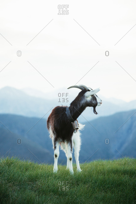 Goat grazing on meadow in Pyrenees mountains