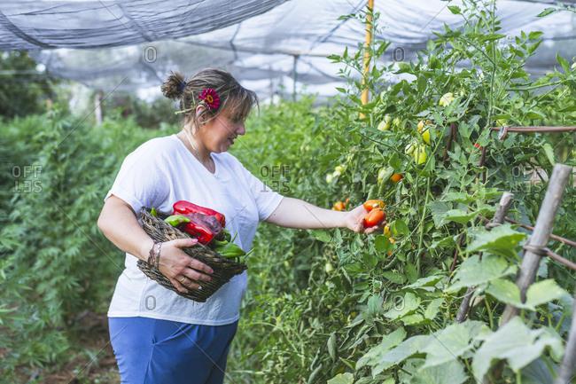 Gardener in apron harvesting vegetables from bushes in basket