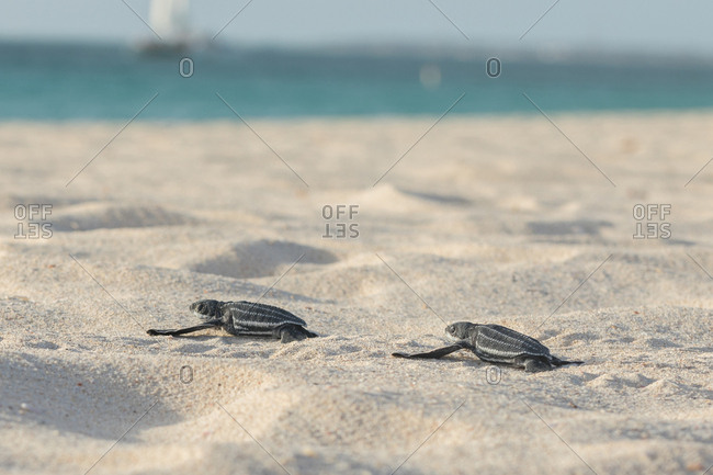 Side view of cute small baby turtles slowly crawling on sandy beach to turquoise water