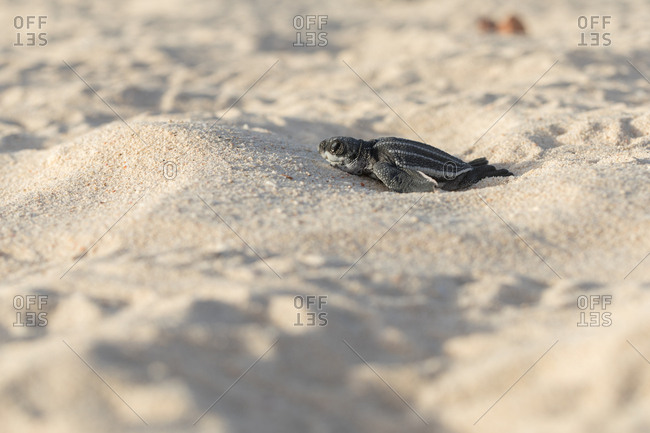 Baby turtle crawling on sand to water