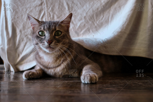 Cute gray cat with mackerel stripes in hunting and playing mood with body low to wooden floor under furniture at home