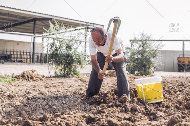Man harvesting potatoes with hoe